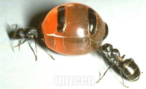 Honeypot_ant_2