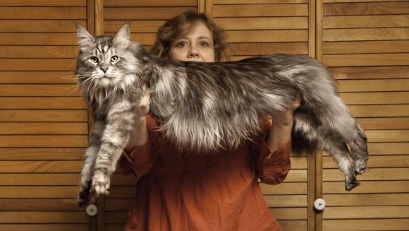 Stewie - Longest Cat