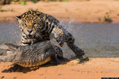 Jaguar Vs Caiman