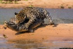 Jaguar Vs Caiman