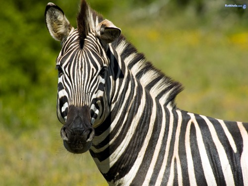 zebra-the-animal-kingdom-250735_1024_768